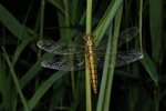 Stor Blpil (Orthetrum cancellatum)